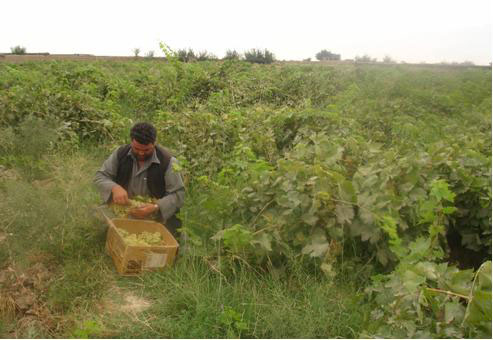 An Afghan farmer packages his grapes for shipping to markets in South Asia. His vineyard was once infested by assorted hidden killers before they were cleared by The HALO Trust deminers. [The HALO Trust]
