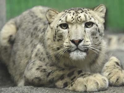 Photos International Cooperation Saves Snow Leopard